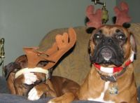 merry christmas from my Boxer babes