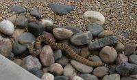 Rattlesnake-dinner's gone