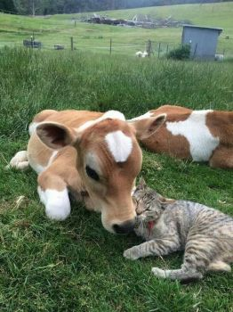 The Cat Shall Lie Down With The Calf