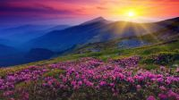 Pink rhododendron flowering in Carpathian Mountains, Ukraine