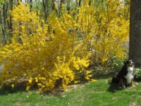 Honey with forsythia