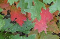 Autumn colours (American oak)