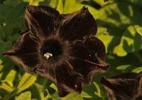 Black Petunia at Sunset