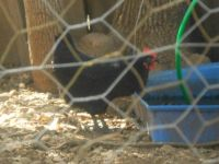 Watching our Chickens - Australorp Hen