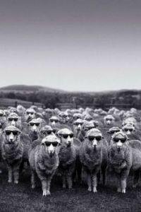 Crimes against sheep #7