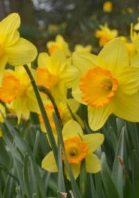 Beautiful Daffodils!!