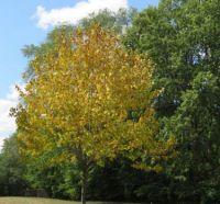 Tree Turning Colors Already, August 1st, Minneapolis, MN