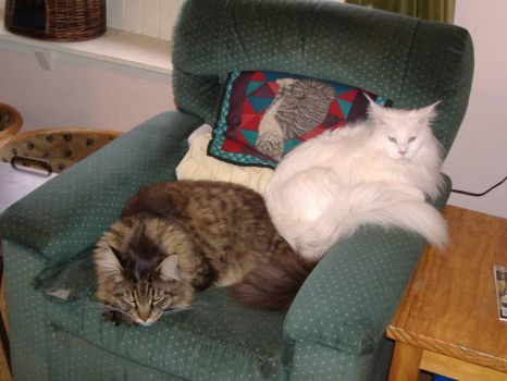 Iceman & Rocky share a chair, 2 of my Maine Coons