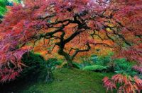 Japanese Maple--Portland Oregon