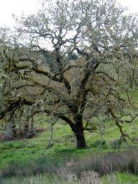 Oregon Oak Tree