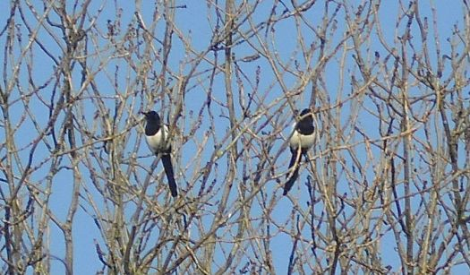 Magpies on a sunny winter's day.