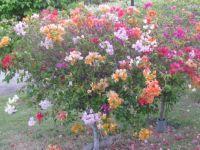 All 7 colours on one bouganvilla bush