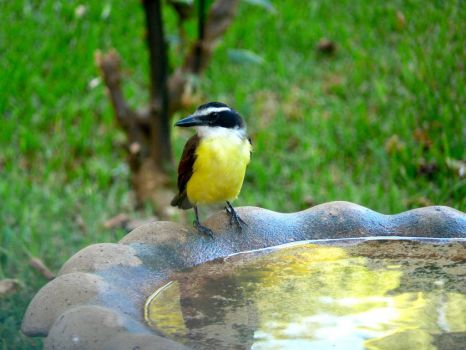 Great Kiskadee - Dropped by for his morning bath.