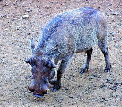 Hairy Warthog