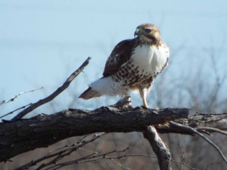 Another Beautiful West Texas Hawk