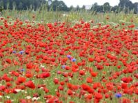 A field full of poppies                  7