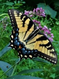 Tiger swallowtail on milkweed--more challenging