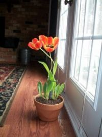 tulip by the window