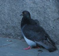 """flying rat"" - feral pigeon"