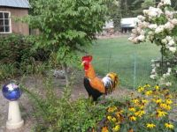 Rooster on duty