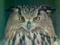 Eastern Siberian Eagle Owl