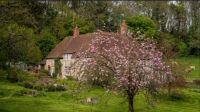 Flowering Cherry. Hamlet Of Hodson. wiltshire.