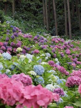 Hydrengea forest in Japan