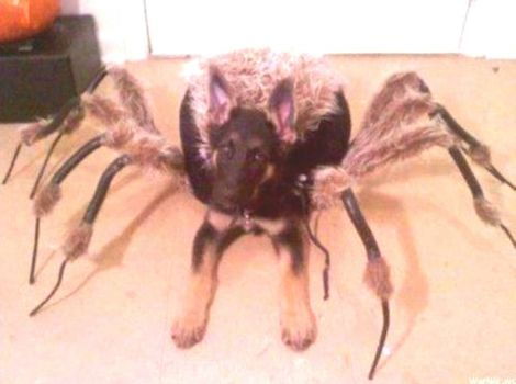 Theme:  Happy Halloween - Dog in Tarantula Costume - Maybe Not so Happy?