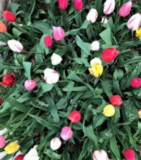 Tulip Bed, Tower Grove Park, St. Louis, MO (challenge)