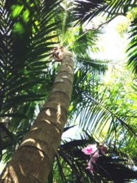 Looking (way) up into the Coconut Palm