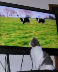 Smudge-kitten yearns to be a sheep dog when she grows up