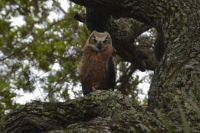 Great Horned Owlet, just fledged in Florida