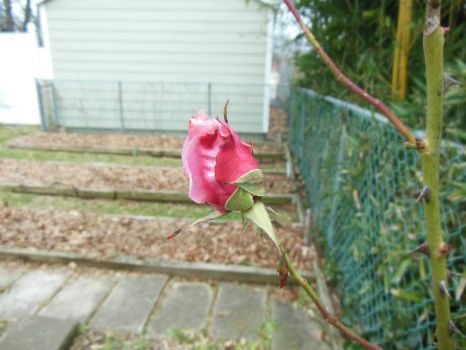 Last rose of summer?