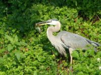 Great Blue Heron  (GBH)