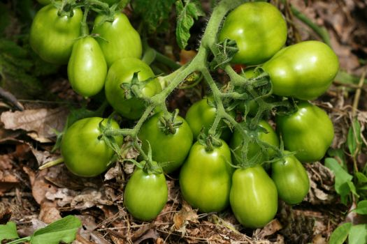 Green plum tomatoes