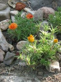 moss rose on the rocks
