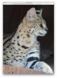 Serval 02 :Bear Creek Feline Center Fla