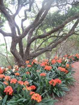 Clivias at Babylonstoren, South Africa