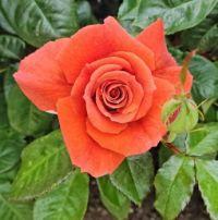 Single Rose and Bud