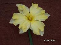 Unusual Daffodil