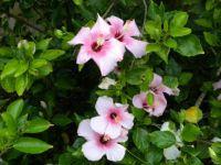 Bermuda Hibiscus.