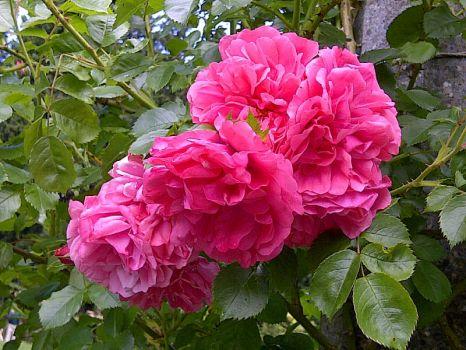 Portland Oregon Rose