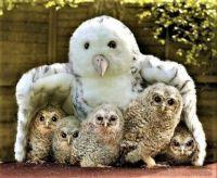 Cute baby Owls