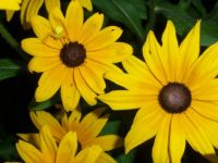 rudbeckia w/cool yellow spider