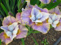 gold filled iris