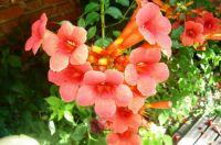 flower- trubac