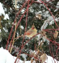 Cardinal in back yard.