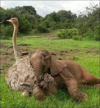 Baby Elephant - Fluffy Ostrich