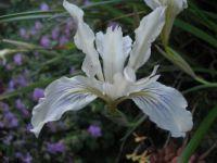 Marin Iris, CA