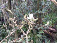 Magnolia emerging - Scottish Highlands